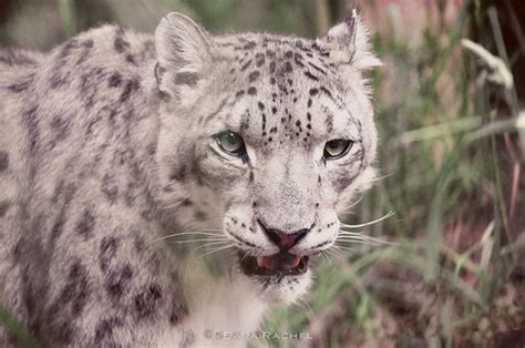 Know Why the Snow Leopard is Endangered - India's Endangered
