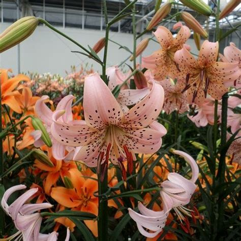 Lily bulbs::Lily Pink Giant::Asiatic Lilies::H