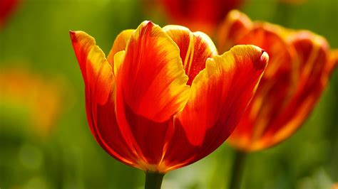 Beautiful Tulips Wallpapers | HD Wallpapers | ID #9821