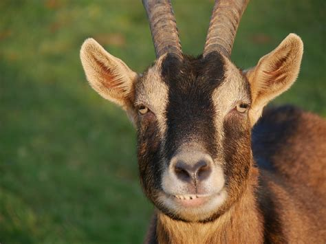 The meaning and symbolism of the word - «Billy-Goat»